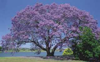 Жакаранда (фиалковое дерево) в России растет ли и где? Где растет жакаранда (фиалковое дерево)?