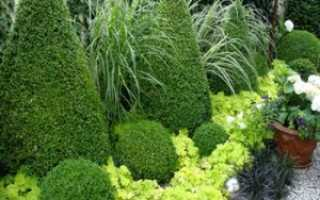 Вечнозеленые кустарники: названия, фото, применение в ландшафтном дизайне