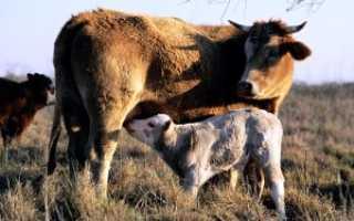 Корова после отела: особенности ухода, возможные проблемы