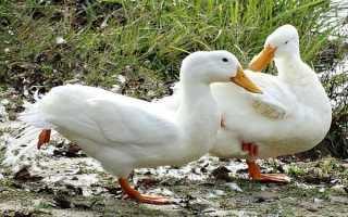 Утки выщипывают перья друг у друга: как с этим бороться