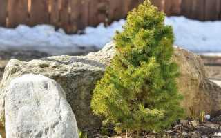 Елки декоративные (39 фото): виды елок для сада, карликовые, декоративные сорта, разновидности, кустарник или дерево