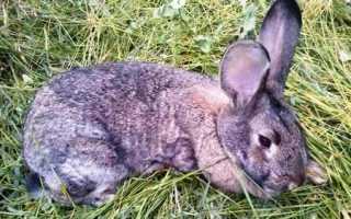 Кокцидиоз у кроликов: симптомы, лечение и профилактика
