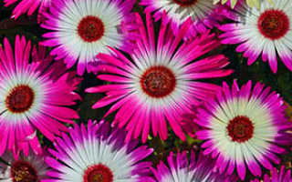 Цветы мезембриантемум: выращивание из семян в домашних условиях, фото, посадка и уход в открытом грунте