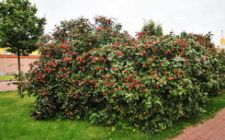 Декоративный кустарник калина: фото сортов и видов с описанием, уход и выращивание калины