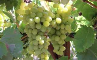 Лучшие сорта винограда для Подмосковья с описанием