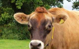 Корова джерсейской породы: обзор, характеристика