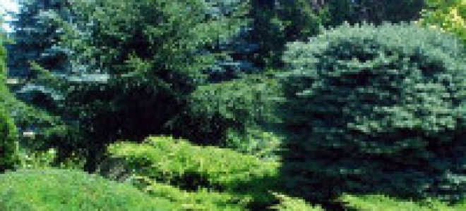 Виды хвойных растений с названиями и фото