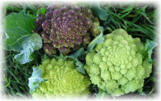 Лучшие сорта капусты брокколи — характеристики, как выбрать