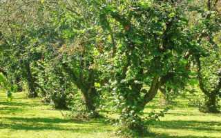 Лесной орех и фундук: как цветет, выглядит, фото