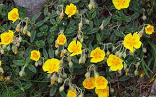 Растение солнцецвет: посадка и уход в открытом грунте, фото, выращивание из семян