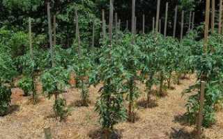 Мульчирование томатов в теплице: когда и как его проводить, виды мульчи