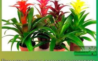 Гузмания уход в домашних условиях: пересадка растения