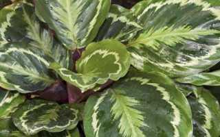 Цветок калатея медальон: уход в домашних условиях, особенности выращивания и размножение