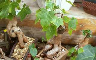 Брахихитон (бутылочное дерево) – уход в домашних условиях