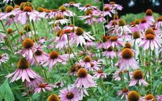 Эхинацея: популярные виды растения (фото и описание)
