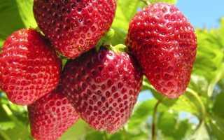 Семь секретов хорошего урожая клубники