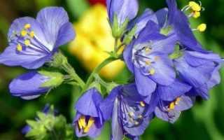 Синюха голубая посадка и уход в открытом грунте размножение