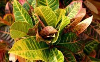 Кодиеум (кротон): основные виды и сорта с описанием и фото