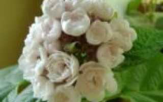 Клеродендрум филиппинский: уход в домашних условиях и размножение цветка
