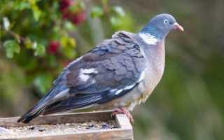 Кормушки (поилки) для голубей: как сделать своими руками