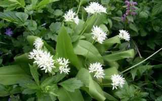 Полезные свойства черемши, как заготовить лечебное растение