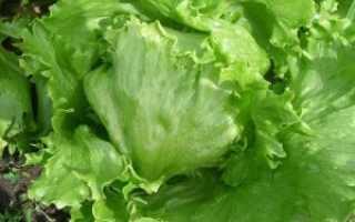 Как вырастить салат Айсберг на подоконнике: уход в домашних условиях