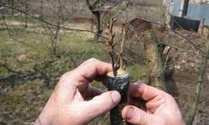 Как привить грушу весной пошагово: особенности и способы прививки, советы для начинающих садоводов