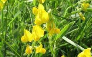 Чина – полезные свойства и применение чины, семена чины, цветок чины