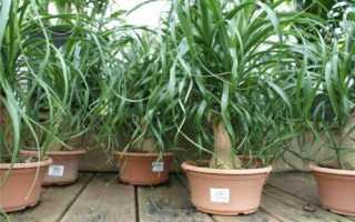 Растение нолина: особенности ухода и выращивания
