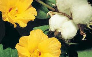Выращивание хлопка (хлопчатника)