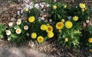 Гелихризум – описание, агротехника ывращивания из семян