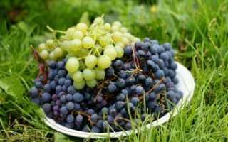 Особенности посадки и выращивания винограда в Сибири для начинающих