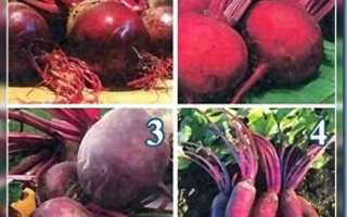 Выращивание свеклы: 5 правил 7 советов, Сайт о саде, даче и комнатных растениях