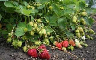 Земляника садовая: уход после сбора урожая и подкормка