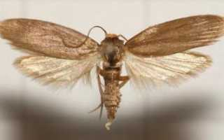 Для чего применяется огневка пчелиная? Настойка: способ применения