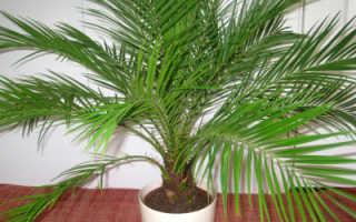Финиковая пальма в домашних условиях: уход, фото, нюансы посадки и пересадки