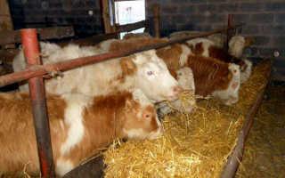Самый эффективный откорм бычков на мясо в дома, рацион, видео