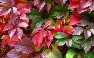 Девичий виноград: размножение черенками осенью, плюсы и минусы способа