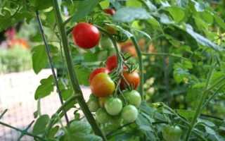 7 сортов томатов для открытого грунта устойчивых к фитофторозу