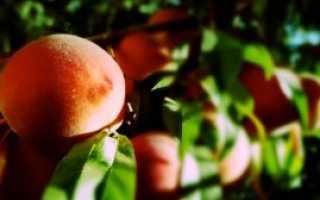 Курчавость листьев персика: профилактика, причины и лечение