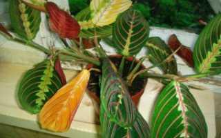 Почему у маранты желтеют, сохнут, скручиваются листья
