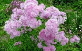 Василистник малый — использование в народной медицине, Полезные растения