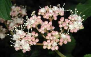 Чернокленовый мед: полезные свойства и противопоказания