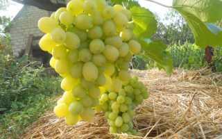Виноград лора: описание сорта, посадка и уход за лозой