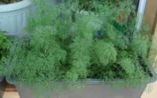 Укроп на подоконнике: выращивание растения из семян в домашних условиях