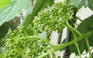 Уход за виноградом перед цветением для повышения урожайности: обрезка
