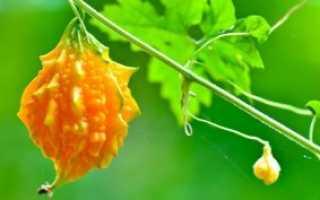 Чем полезна момордика для здоровья: её лечебные свойства и противопоказания к применению
