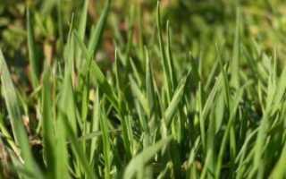 Полевица побегоносная как газонная трава: описание, норма высева, посадка и уход, фото