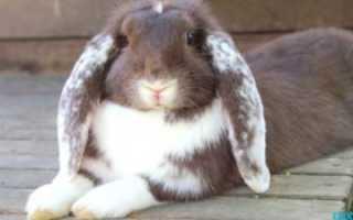 Порода кроликов французский баран: описание, отзывы