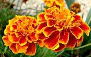 Бархатцы: сорта с фото и названиями, описание, отзывы садоводов